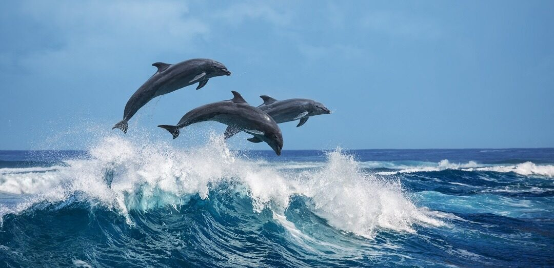 Three,Beautiful,Dolphins,Jumping,Over,Breaking,Waves.,Hawaii,Pacific,Ocean